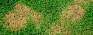 how to prevent dog urine from killing grass