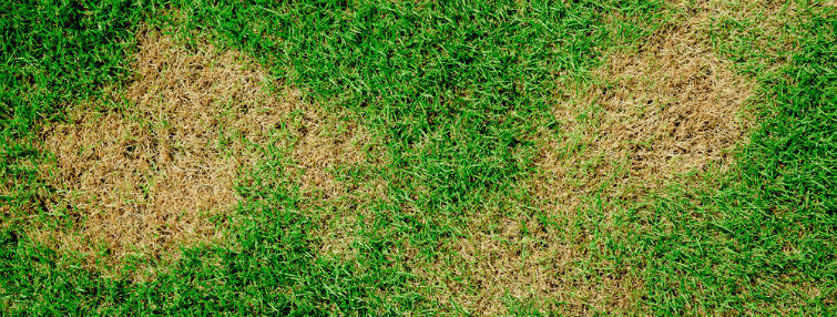 Prevent Grass Dying From Dog Urine