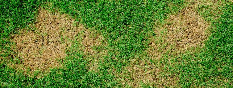 Dog Pee Kills Grass