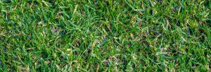 Best Drought Resistant Grass in Texas - Buffalo Grass