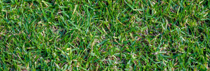 best drought resistant grass Texas - Buffalo grass