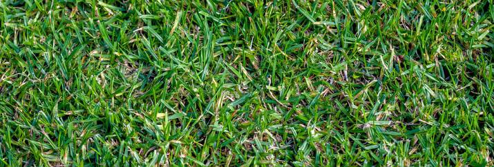 Buffalo grass, Best Drought Resistant Grass in Texas