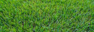 Best Drought Tolerant Grass in Texas