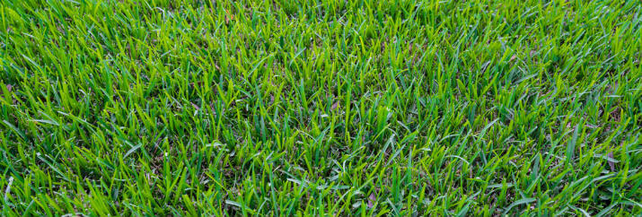 best drought tolerant grass Texas
