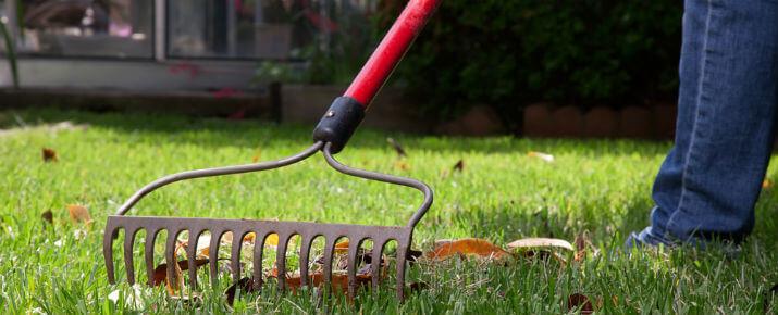 Pick up acorns from yard using a rake