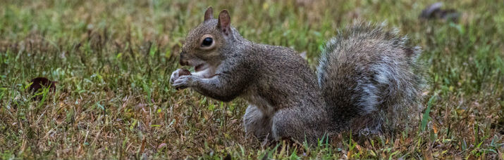 Squirrel picking up acorn from yard