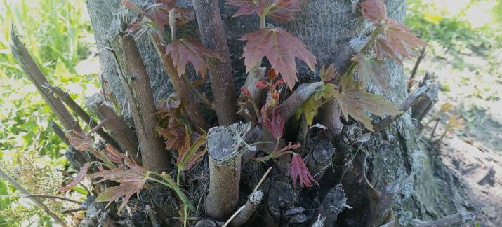 how to stop tree shoots from growing