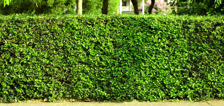 best plants for privacy hedge