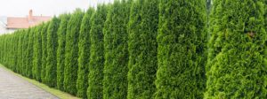 Best Trees for Privacy Screen