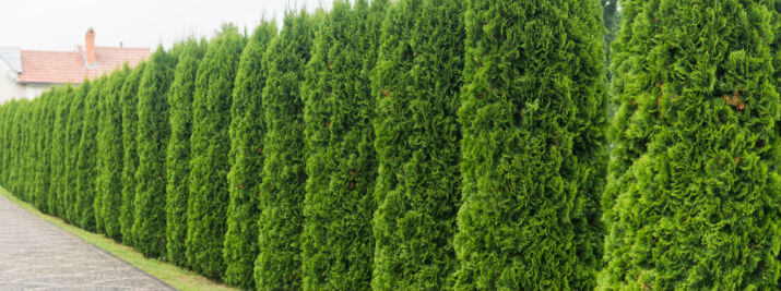 Best Tall Plants for Privacy Screen From Neighbours
