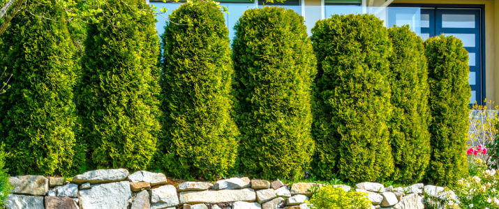 Best Plants For A Privacy Screen Hedge From Neighbors Zodega Tis