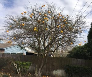 best fruit trees for Houston