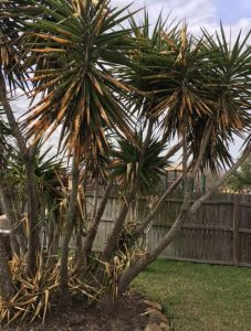 Best Palm Trees for Houston