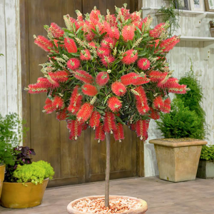 Evergreen Bottlebrush Tree